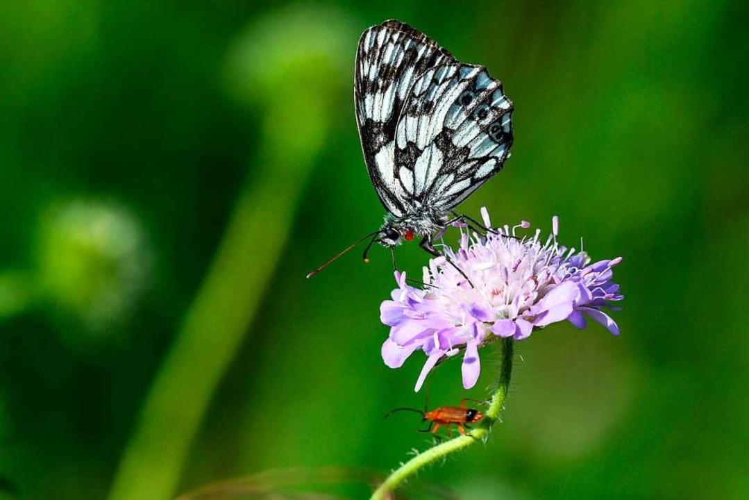 Selten geworden: Ein Schmetterling  | Foto: Felix Kästle (dpa)