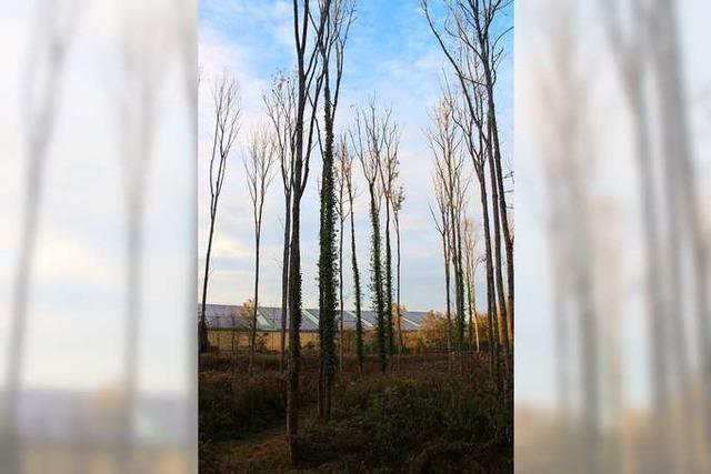 Kranke Eschen werden aus dem Marcher Wald geholt