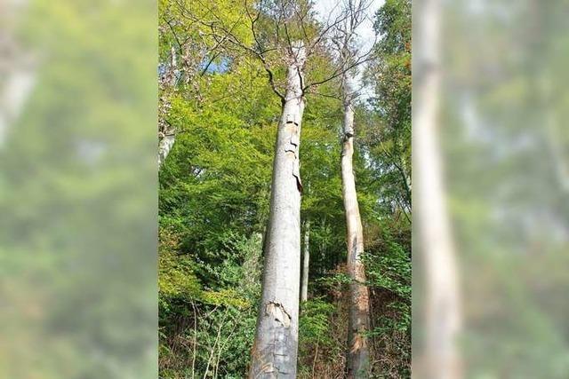 Der Wald in Grenzach-Wyhlen ist bisher glimpflich davon gekommen