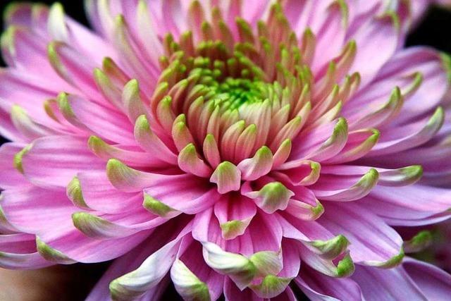 Fotos: Die 22. Chrysanthema in Lahr ist eröffnet
