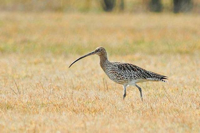 Vom Aussterben bedrohter Große Brachvogel wird in der Ortenau wieder heimischer