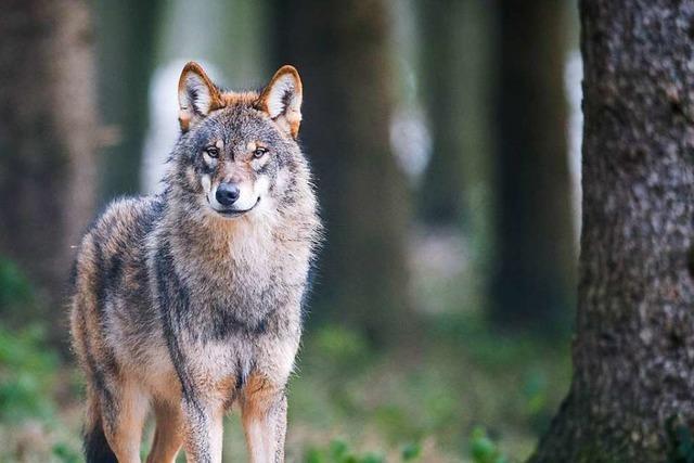 Schafe und Ziege im Nordschwarzwald möglicherweise von Wolf gerissen