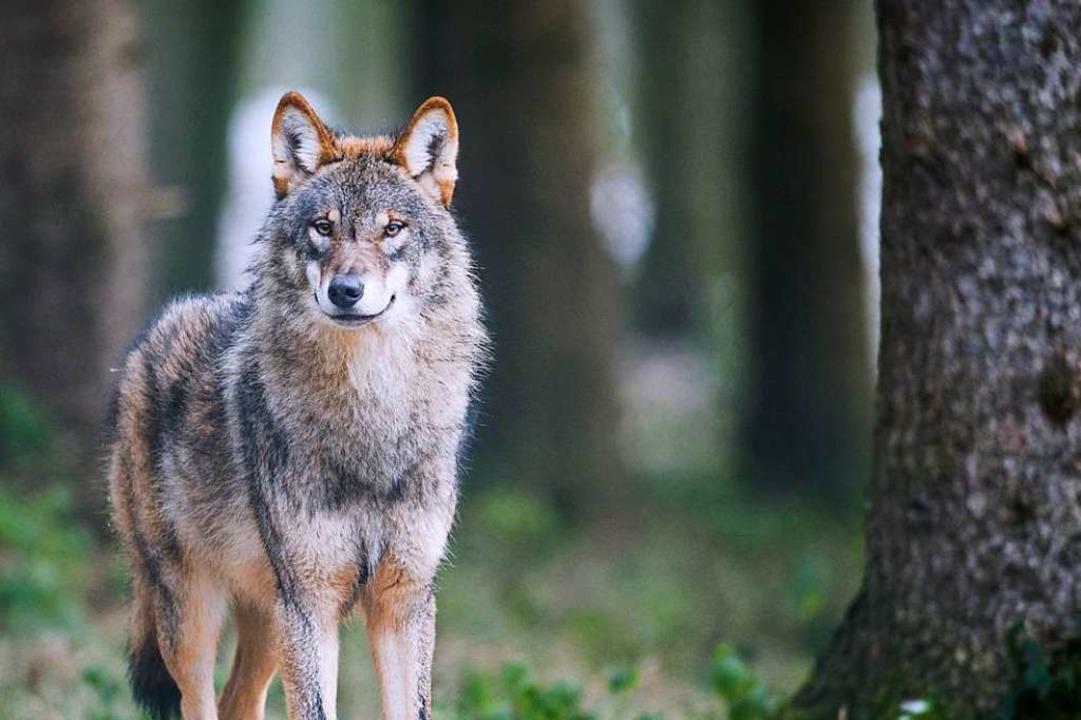 Hat ein Wolf Nutztiere im nördlichen Schwarzwald gerissen? (Symbolfoto)  | Foto: Bernd Thissen (dpa)