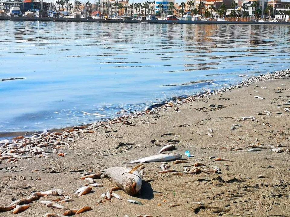 Tote Fische liegen am Strand am Mar Menor.    Foto: --- (dpa)