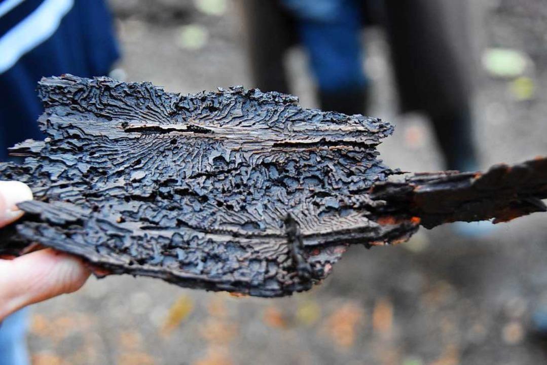Ein von Borkenkäfern zerfressenes Rindenstück einer Fichte.  | Foto: Andrea Steinhart