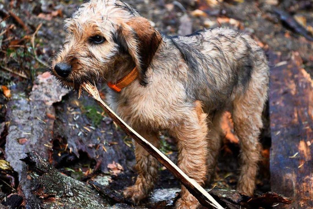 Welpe Arack erkundete den Wald mit und wird mal ein Jagdhund.  | Foto: Thomas Kunz