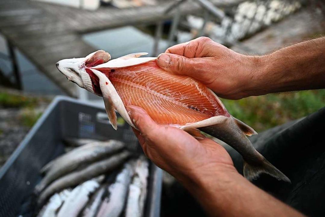 Fischer Andreas Geiger hält einen ausgenommenen Seesaibling in den Händen.  | Foto: Felix Kästle (dpa)