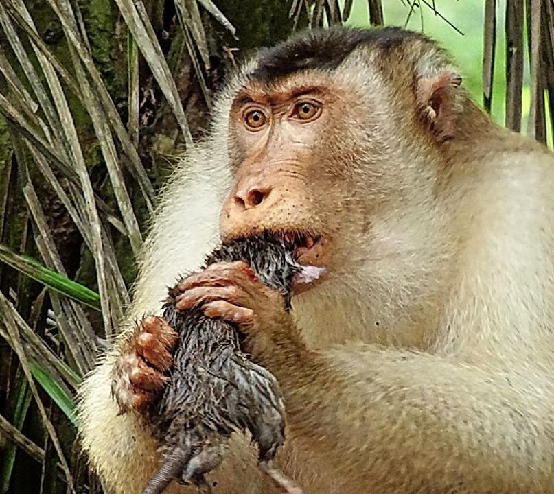 Makaken fressen Ratten.  | Foto: Anna Holzner (dpa)