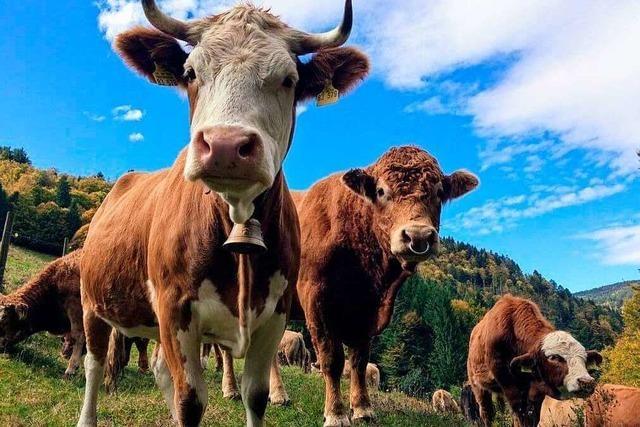 Das Fleisch-Start-Up Cowfunding konzentriert sich ab sofort auf alte Nutztierrassen