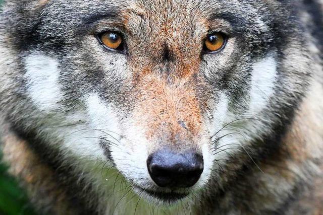Das Haus der Natur will die Diskussionen um Wolf und Luchs versachlichen