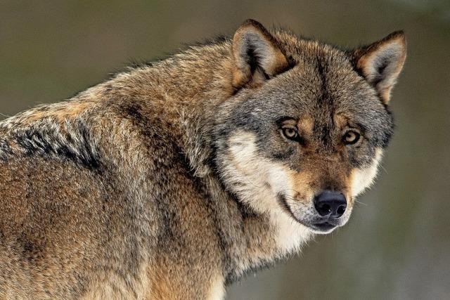 Als die Wölfe mit den Schafen tanzten