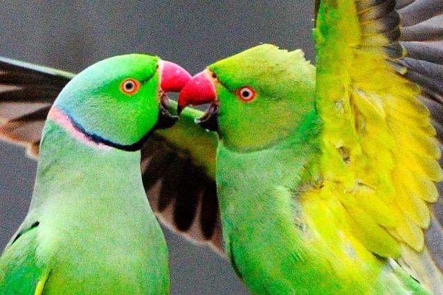 Drei grüne Papageien in Murg-Niederhof geben Rätsel auf