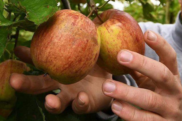 Die Apfelbäume sind müde – Ernte fällt bescheiden aus