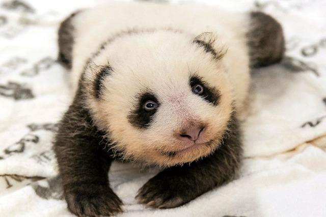 Ein neues Bettchen für die Pandababys