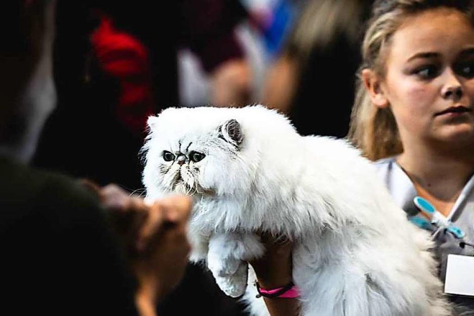 """Mehrere Hundert Rassekatzen, Züchter und Katzenliebhaber kamen am Wochenende zur """"World Cat Show"""" auf der Freiburger Messe zusammen. 24 Juroren wählen 26 Weltsieger in verschiedenen Kategorien. (Foto: Janos Ruf)"""