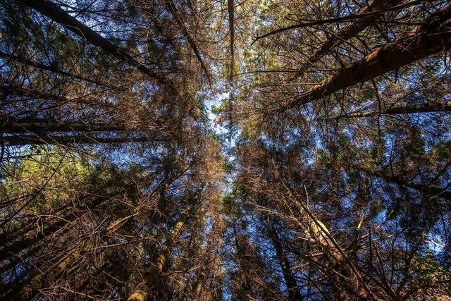 Im Stadtwald sollen wegen des Klimawandels künftig mehr Douglasien gepflanzt werden
