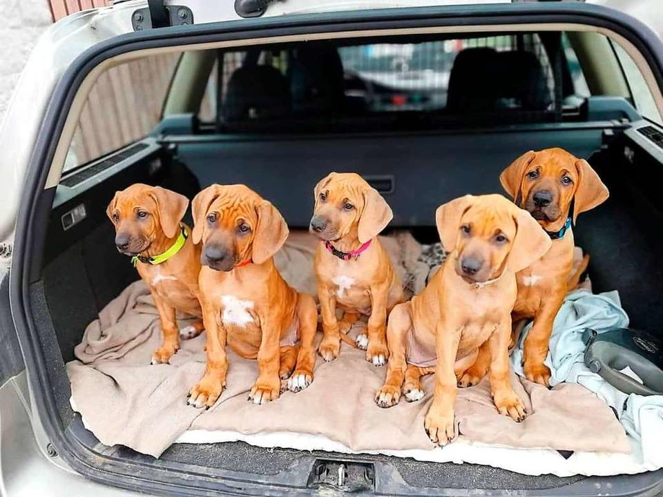 Hundewelpen werden ans Autofahren gewöhnt.   | Foto: Lena Dettle