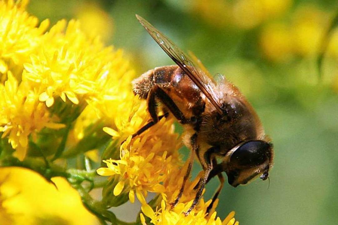 Bienen brauchen naturbelassene Lebensräume.  | Foto: Peter Schütz