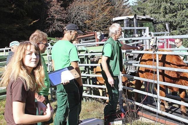 Die Rinder stehen gut im Futter
