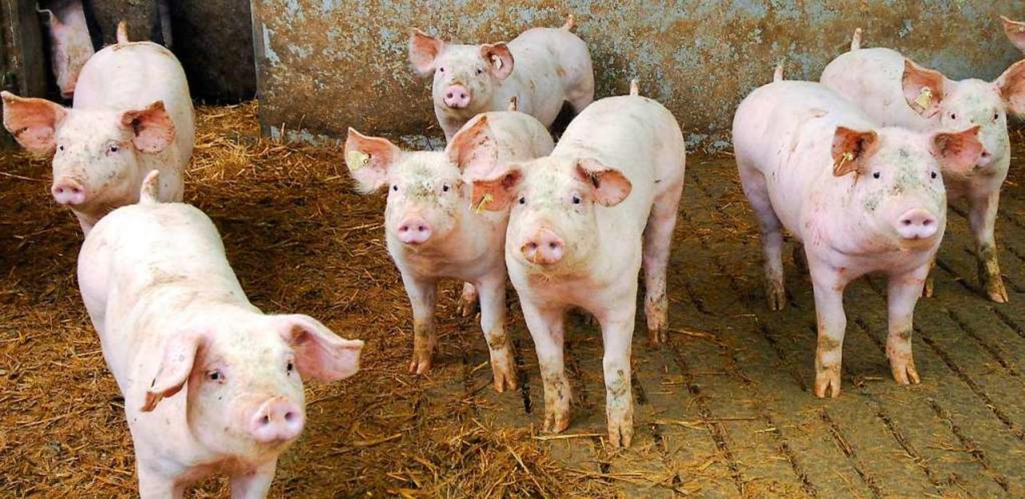 In China werden viele Schweine von der afrikanischen Schweinepest dahingerafft.   | Foto: Michael Bamberger