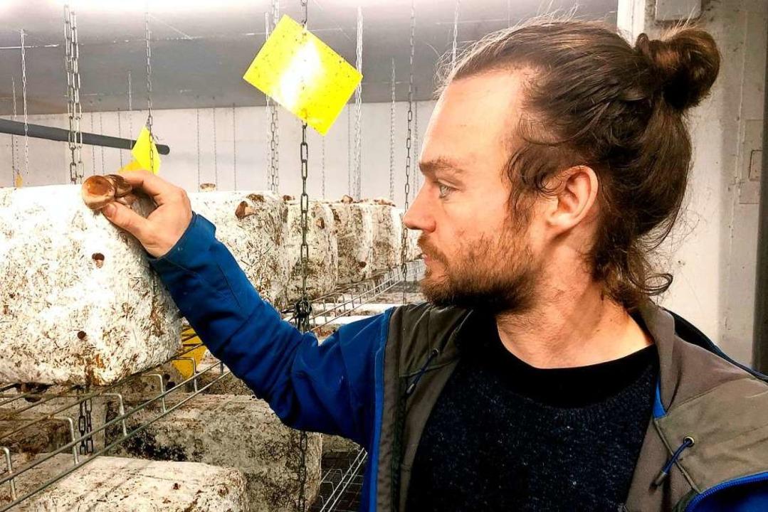 Jean-Noël Gertz erntet einen Shiitake-Pilz.    Foto: Knut Krohn