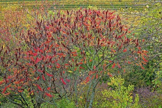 Essigbaum sorgt für markante Farbtupfer