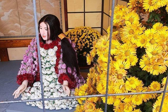 Auf der Blumenschau sind Chrysanthemen hinter Gittern