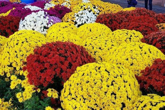 Chrysanthema geht mit Floristik, Musik und Feuerwerk in den Schlussspurt