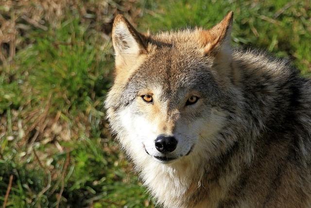 Neues Ausstellungselement zu Wolf und Luchs im Haus der Natur am Feldberg