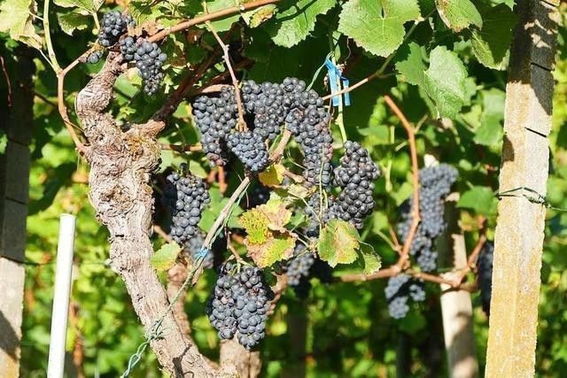 Die IG Weinbau Herten bekommt
