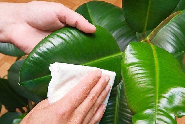 Zimmerpflanzen doch kein Wundermittel für sauberere Luft