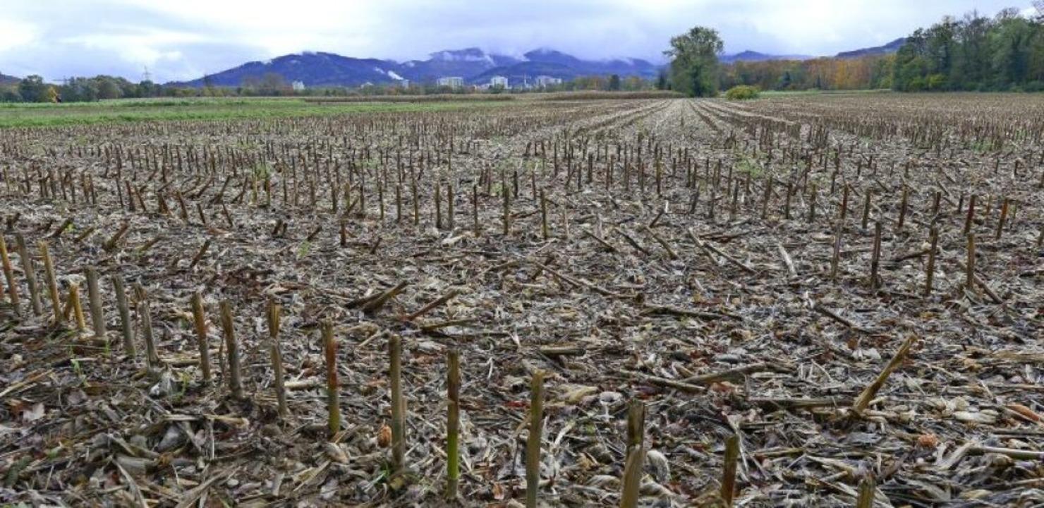 Noch stehen Maisstoppeln, wo einmal de...dtteil Dietenbach gebaut werden soll.     Foto: Ingo Schneider