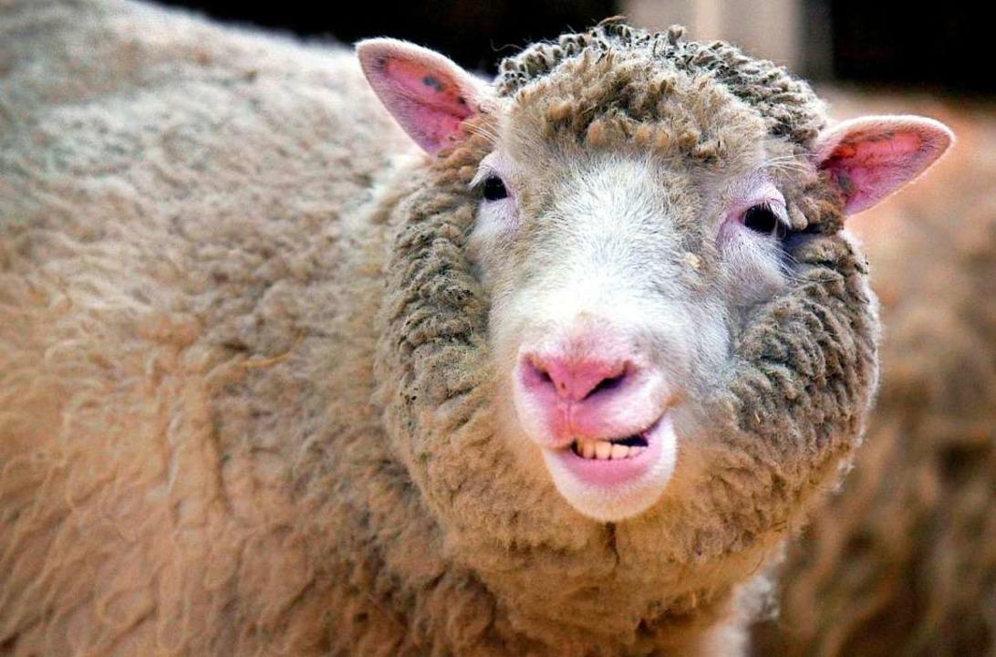 Schaf Dolly war das erste geklonte Säu...schung in der Fachzeitschrift Nature.   | Foto: Curtis