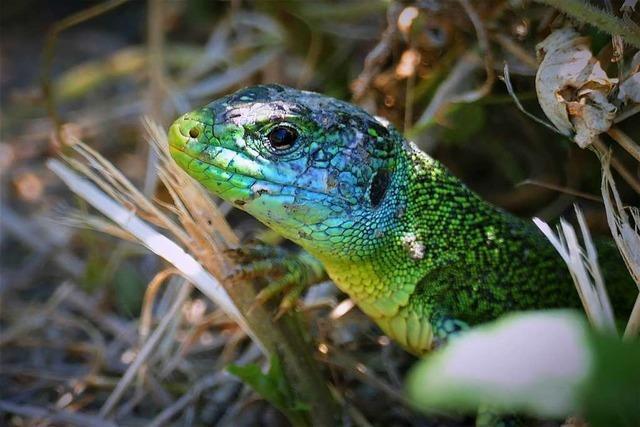 Tierische Begegnung auf dem Smaragdeidechsenpfad
