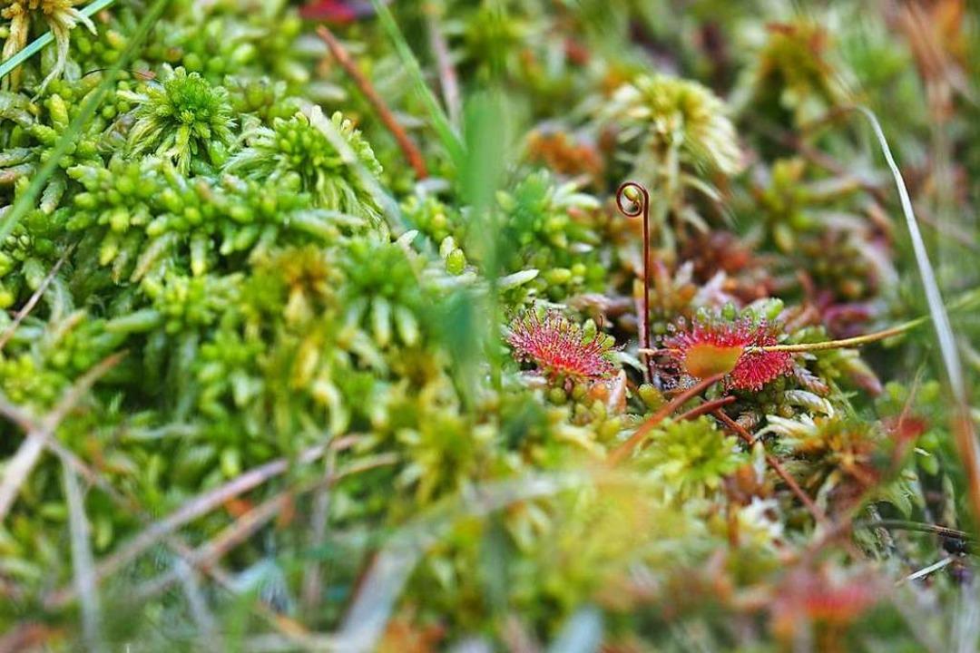 Ist ein Moor gesund, wachsen dort  sel...inks) und der langblättrige Sonnentau.  | Foto: Susanne Gilg
