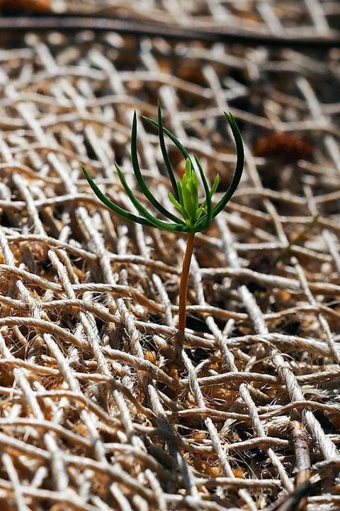Klein und zart entwickelt sich eine kleine Moorkiefer im Eschengrundmoos.  | Foto: Susanne Gilg