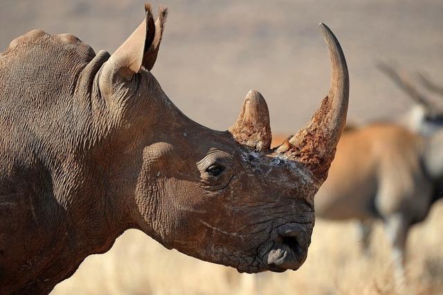 Nashorn-Hörner aus Pferdehaar
