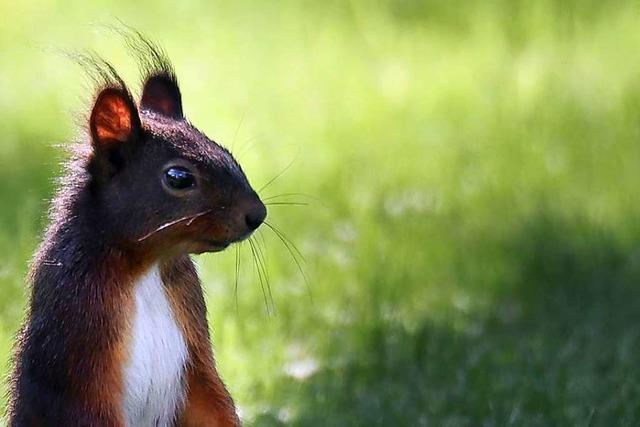 Eichhörnchen in Mundingen