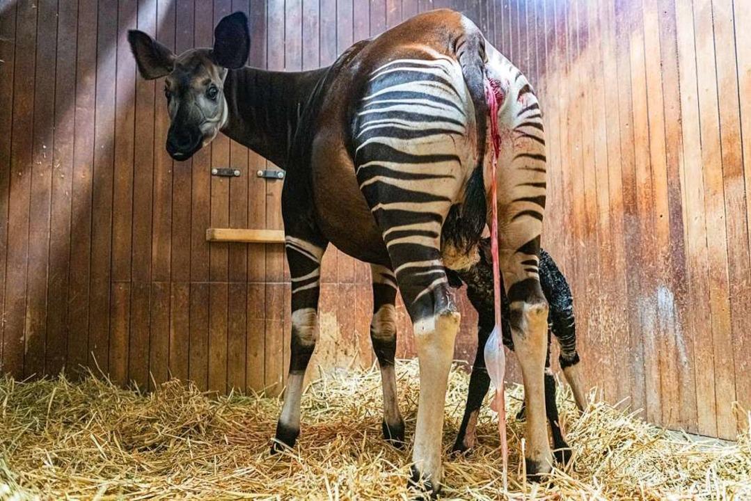Nachwuchs bei den Okapis    Foto: Torben Weber (Zoo Basel)