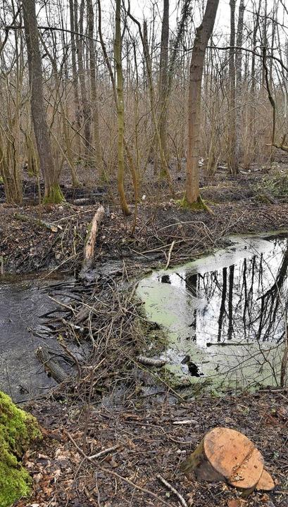 Am Riedkanal zwischen Wasenweiler und Gottenheim haben Biber einen Damm gebaut.    Foto: Manfred Frietsch