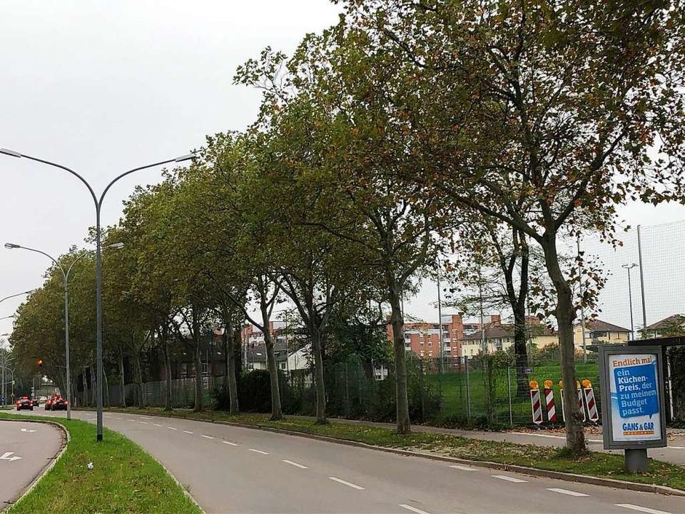 Die Baumreihe Richtung Weststadion sol... und Bürger wurden die Pläne gestoppt.  | Foto: Beate Vollmer