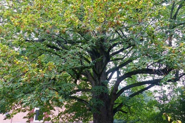 Die Linde im Garten des ehemaligen Klosters soll Naturdenkmal werden