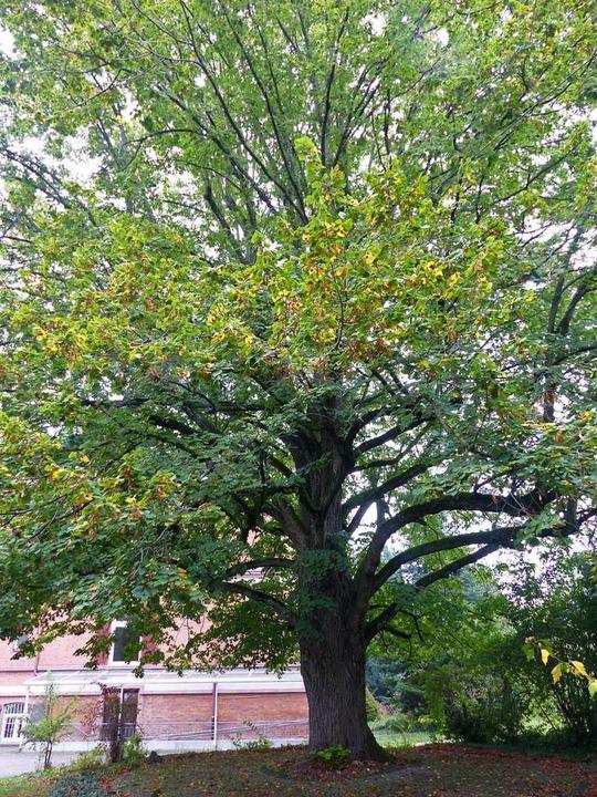 Für die Linde im Garten des ehemaligen...nerkennungsverfahren als Naturdenkmal.  | Foto: Ekkehard Klem
