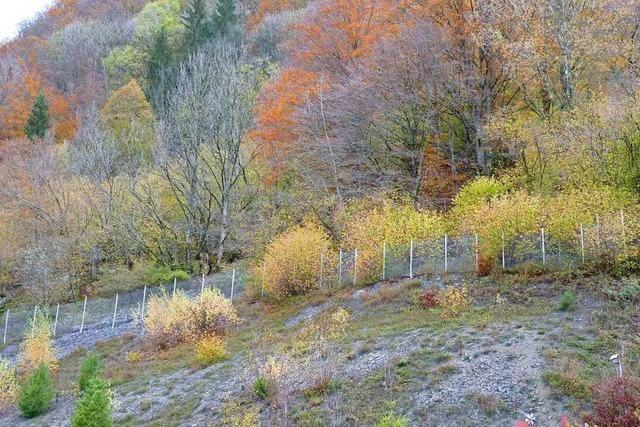 Todtnauer kritisieren Baumfällungen in Geschwend