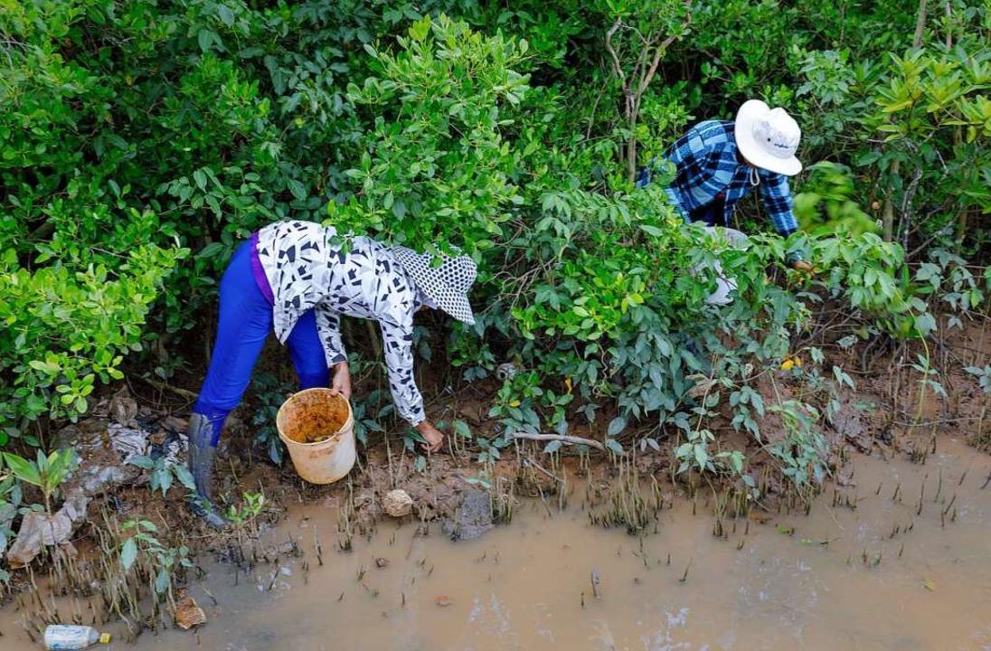 Im Schlick zwischen den Wurzeln der Mangroven suchen Bauern nach Schnecken.  | Foto: Thomas Imo/photothek.net/GIZ