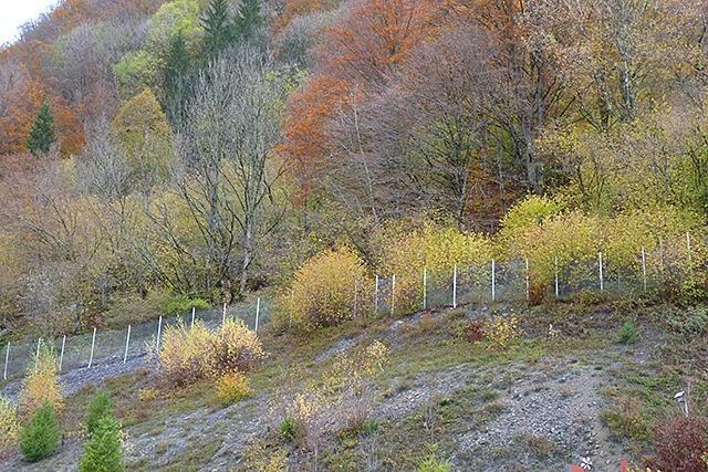 Wacklige Felsen: Todtnauer kritisieren Baumfällungen