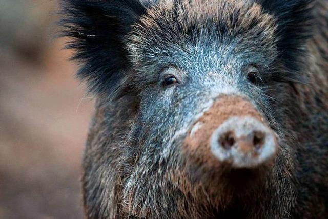 Die afrikanische Schweinepest wirkt sich auf den Kreishaushalt aus