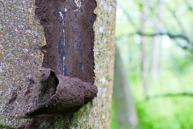 Mittlerweile sterben auch Bergahorn und Kiefer – an der Rußrindenkrankheit