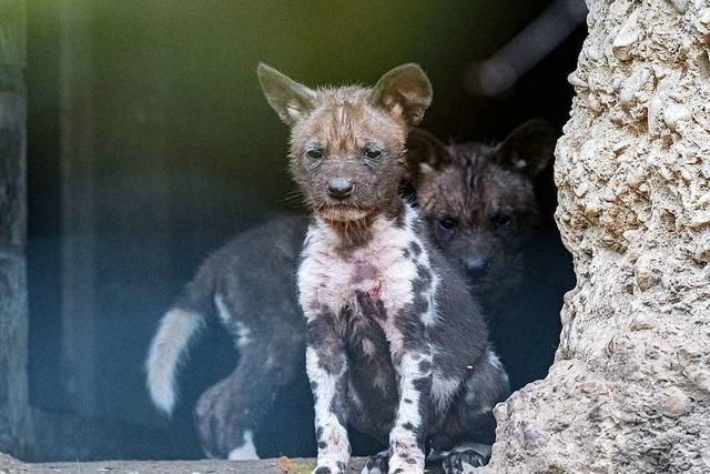Afrikanische Wildhunde bekommen achtfachen Nachwuchs