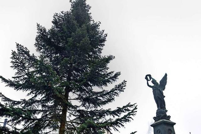Freiburgs größter Tannenbaum steht am Europaplatz
